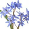 Bluestar Flower