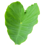 Colocasia Leaves