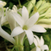 Mexican Tuberose