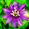 Purple Passion Flower