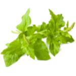 Wild Spinach